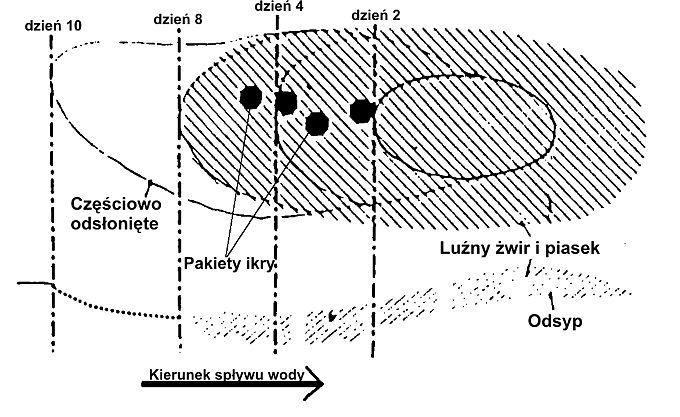Gniazdo tarłowe pstrąga